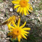 arnica fleurs