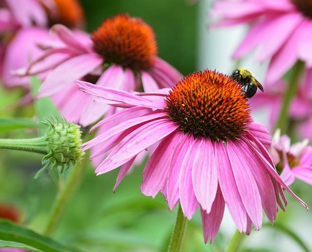 abeille échinacée